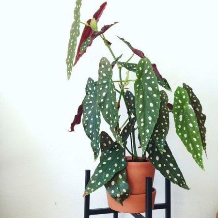 Plantas de moda: Begonia Maculata