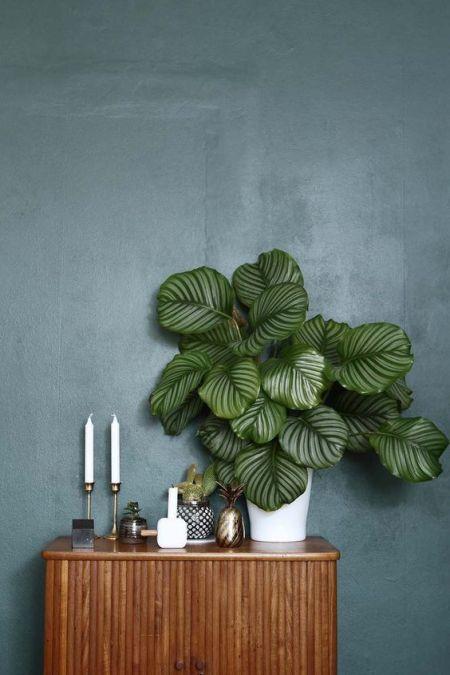 Plantas de moda: Calathea orbifolia