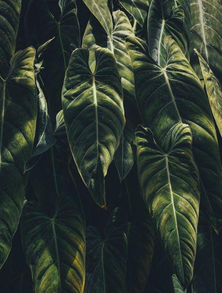 Plantas de moda: Alocasia