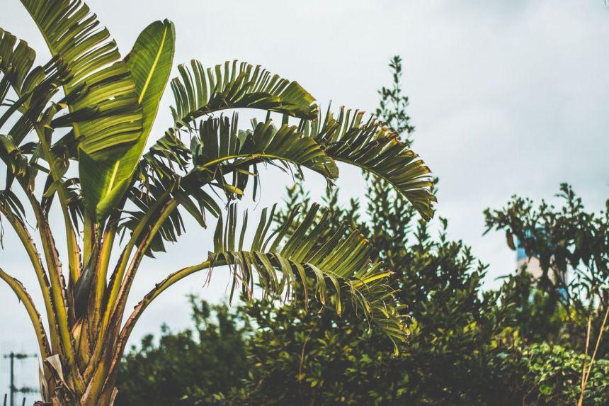 Plantas de moda: Planta Ravenala madagascariensis