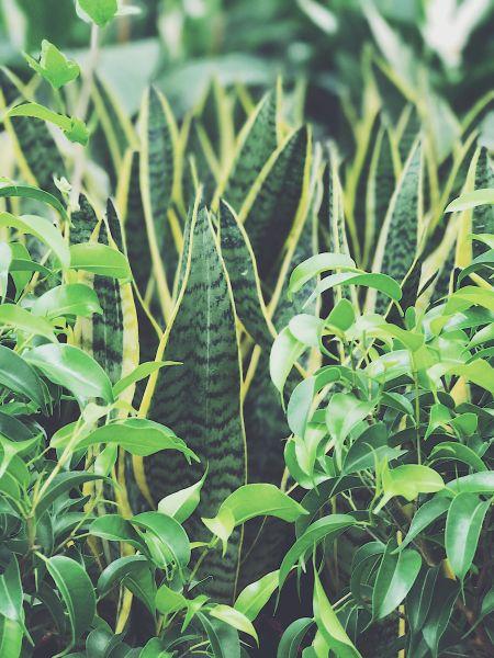 Sanseveria Trifasciata