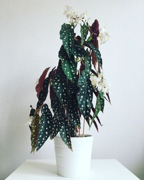 Begonia Maculata planta de interior