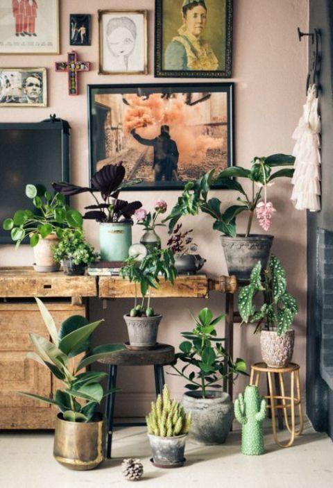 Begonia Maculata plantas de interior