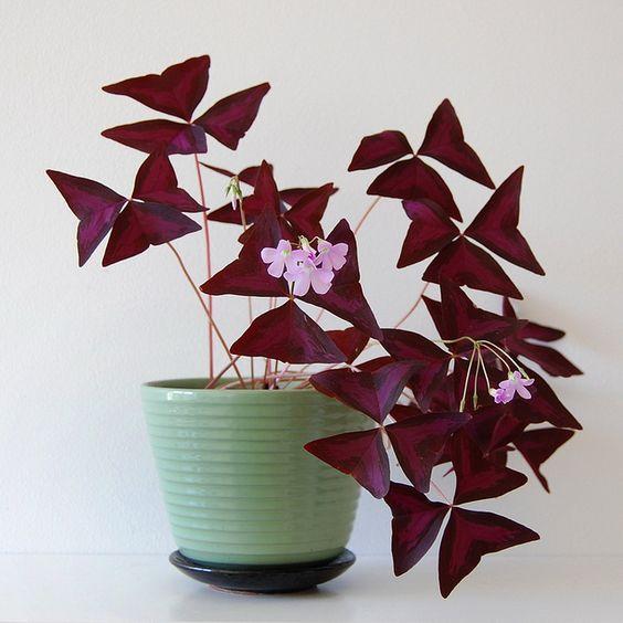 Oxalis Triangularis o planta de mariposa