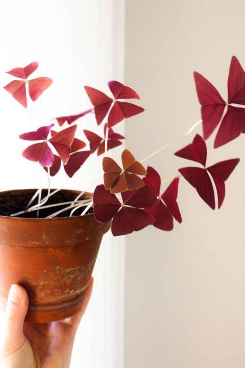Oxalis Triangularis o planta mariposa