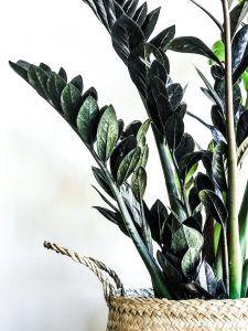 Imagen de Zamioculcas planta de interior