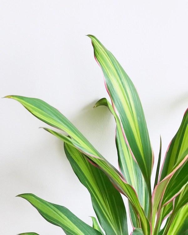 Cordyline fructuosa kiwi