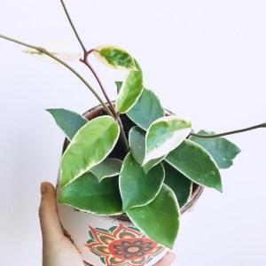 Planta hoya carnosa variegata