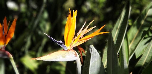 Flor de la planta Ave del Paraíso o Strelitzia