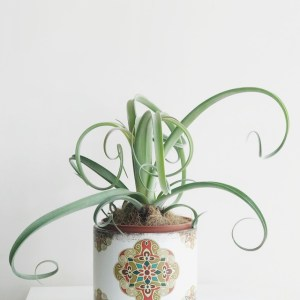Tillandsia Curly en Maceta