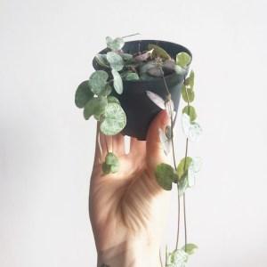 Ceropegia variegata