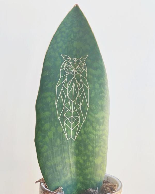 Sansevieria Whale Fin