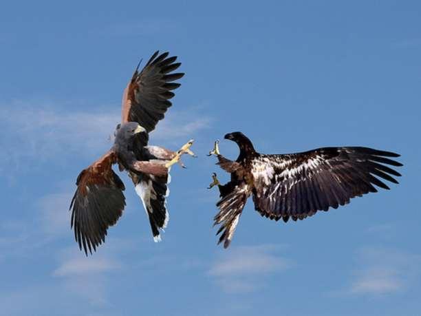Αποτέλεσμα εικόνας για αετος γερακι