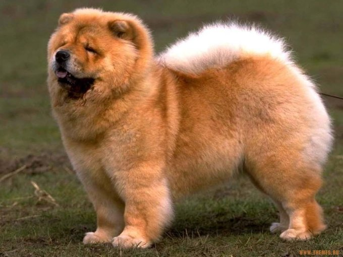 10 Most Expensive Dog Breeds In The World 3
