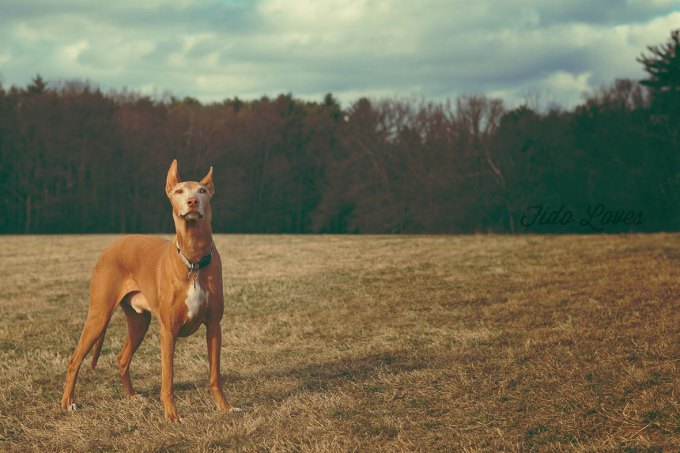 10 Most Expensive Dog Breeds In The World 4