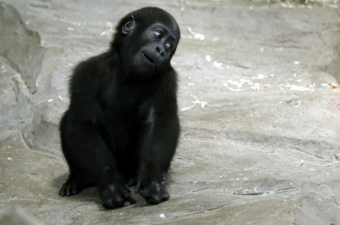 The baby gorilla who is listening to all your stories intently, girl.