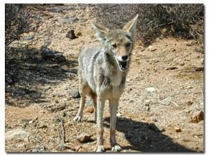 coyote22