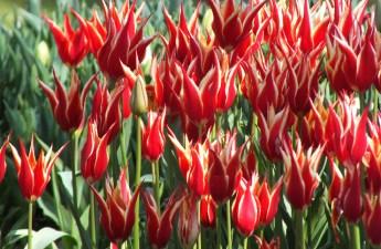 tulips in Göztepe Rose Garden, Istanbul (Traversée du Bosphore from L'Artisan Parfumeur)