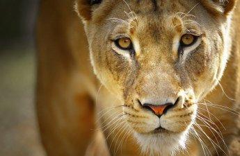lioness - Jonquille The - Enchanté Fragrance