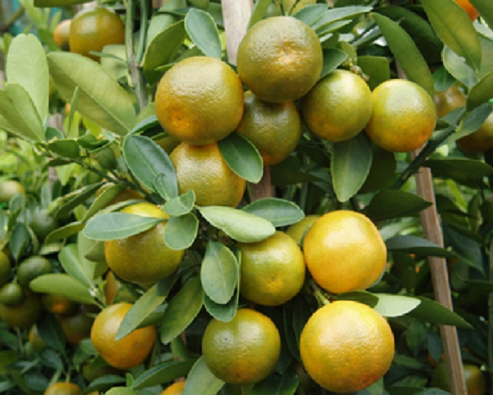 Ten Benefits That We Can Get From Calamansi