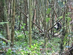 It's difficult to photograph gorillas in a bamboo forest. There are two in this picture.