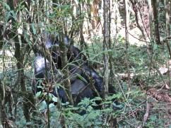 The silverback partially hidden.