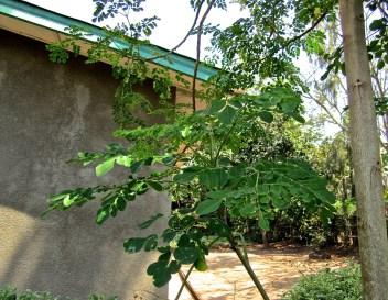 15 Moringa tree