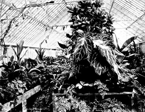Fern-filled conservatory at Bowen Park, Brisbane, ca. 1890, by P.C. Poulsen.