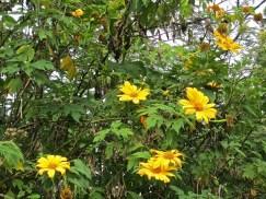 Perennial sunflowers.