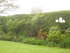 7. Wild trees and vines emerge from the clipped bougainvillea hedge.