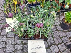 Potted forced Fritillaria meleagris.