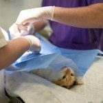 L'Ajuntament envia a esterilitzar uns 200 gats de carrer cada any