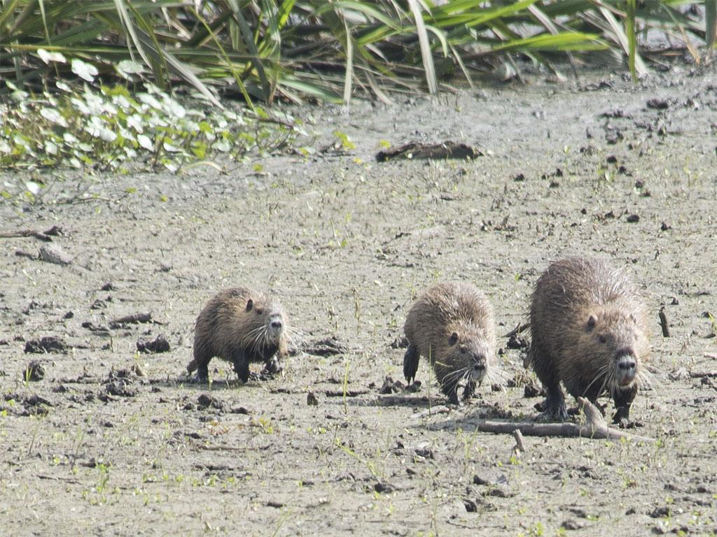 Capybara or pig dogs or something