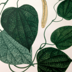 Aristolochia Cordiflora Mutis (Apud.H.B.K.) Tamaño Natural. Fotografía tomada por Diana M. Salinas