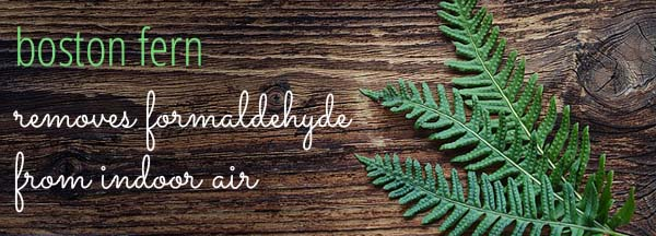 Boston Fern removes formaldehyde from indoor air