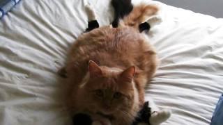 猫の交尾で正常位なんてすることあったっけ?~エッチな面白画像~