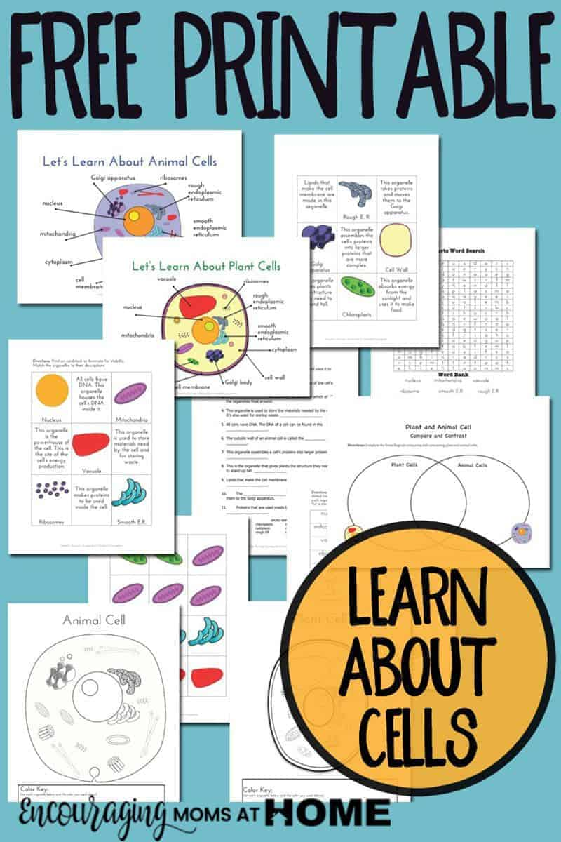 hight resolution of Plant and Animal Cell Printables Grades 4-6