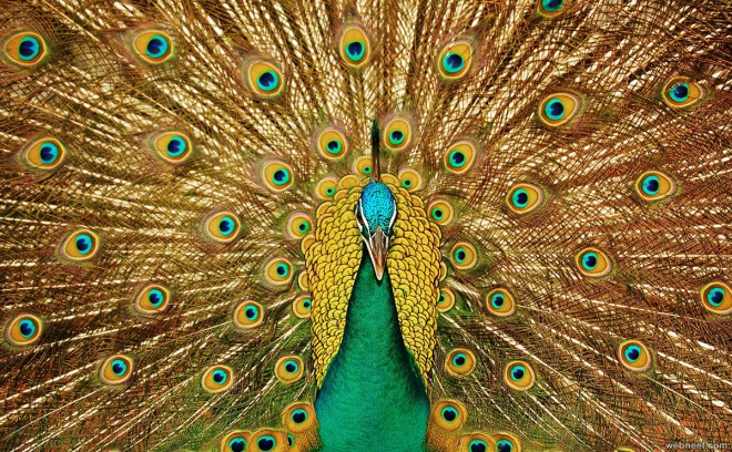 5-beautiful-peacock-photo.preview