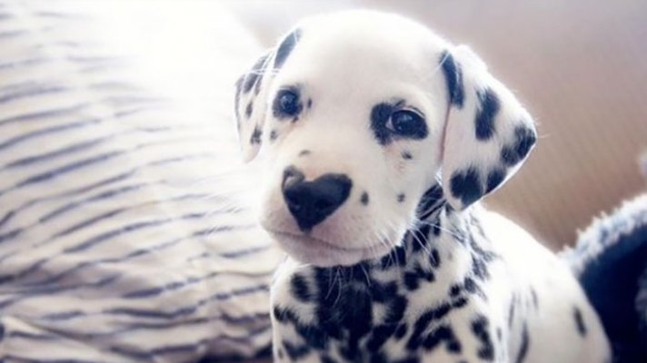 Dalmatian puppy with nose in the shape of a heart
