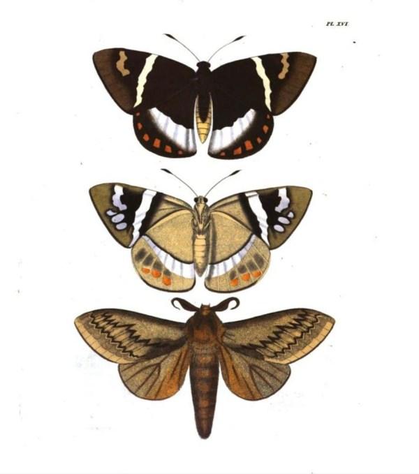 Figure 1 & 2 Castnia Licus and Figure 3 Gastropacha Otus - Moth illustrations