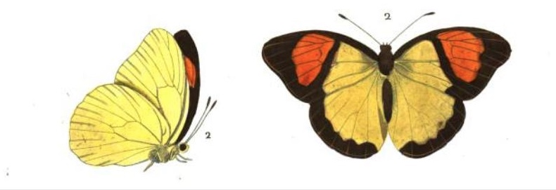 Pieris (Thestias) Pyrene (1837) butterfly illustration