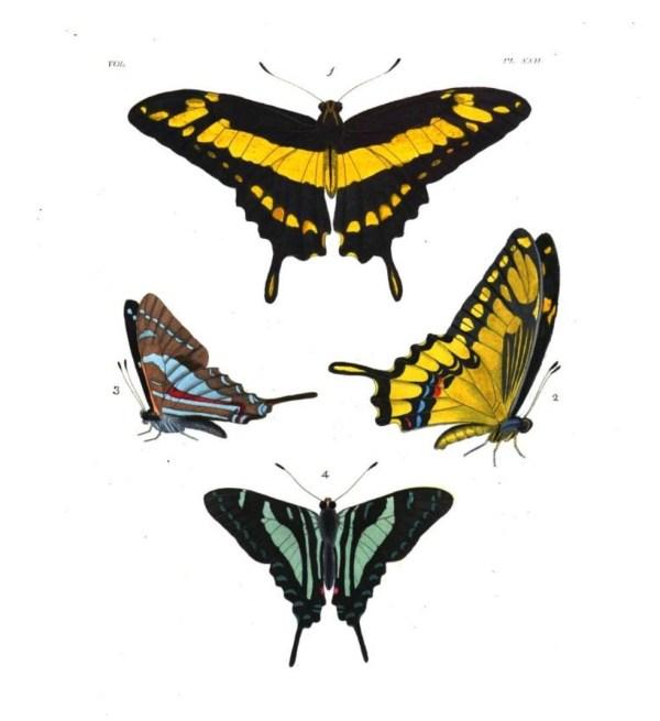 Papilio Thoas fig.1 & 2; Papilio Sinon fig 3 & 4