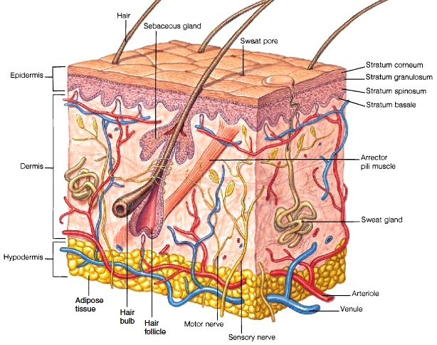 dermis layer diagram standard cat5 wiring skin structure of epidermis hypodermis figure 2 1 a the