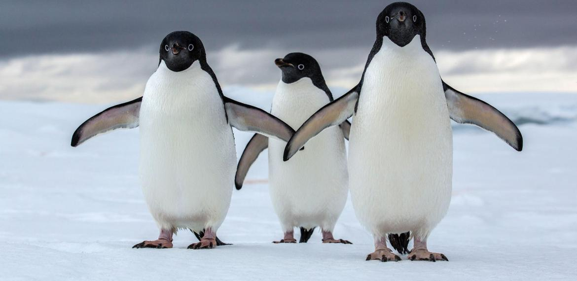 Penguins in Antarctica Happier with Reduced Sea-Ice Conditions Caused by Global Warming, Study Finds