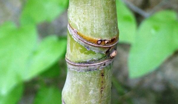 Fylostachys złocisty (Phyllostachys aurea)