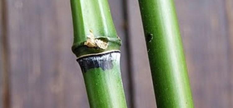 Fylostachys zielonosiny (Phyllostachys viridi-glaucescens)