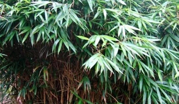 Pseudosasa japońska (Pseudosasa japonica)