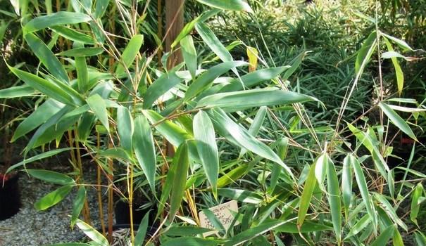 Fargesia olbrzymia (Fargesia robusta) 'Wolong'