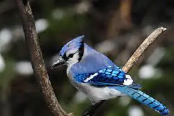 FOR THE BIRDS: Blue jays have an attitude
