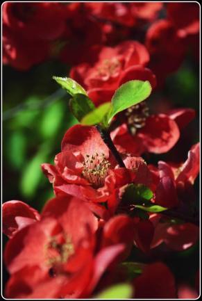 Dominant Red Petals(a)